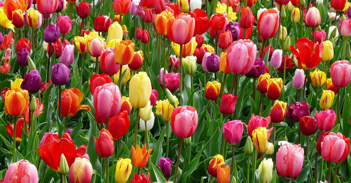 stock-tulipes-semaine-santé-mentale-SSM-2019-web